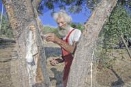 REPORTAGE - Manna-Gewinnung in Sizilien