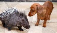 FEATURE -  Pieksige Freundschaft: Stachelschwein Diablo und Dackel Fig