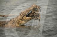 FEATURE - Krokodil kaut auf Artgenossen
