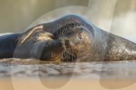 FEATURE - Knutschige Seehunde am Strand von Horsey Beach