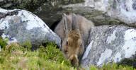 FEATURE - Ein Feldhase versteckt sich in den Schottischen Highlands bei Cairngorms