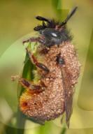 FEATURE - Biene wird von Milben belagert
