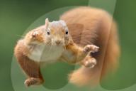 FEATURE - Eichhörnchen springt durch die Luft auf Jagd nach Nüssen