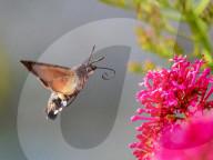 FEATURE - Schlägt seine Flügel schneller als ein Kolibri: Ein Taubenschwänzchen tanzt in der Luft