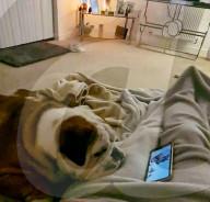 FEATURE - Pawlowscher Reflex: Bulldogge reagiert immer gleich beim schauen seines Lieblingsfilms Der König der Löwen