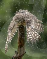 FEATURE - : Eine junge Eule kühlt sich in einem Sommerregen ab