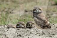 FEATURE -  Ein Quartett junger Kanincheneulen im Grasland-Nationalpark in Kanada