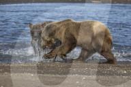 FEATURE -  Grizzlybären kämpfen erbittert um einen Fisch