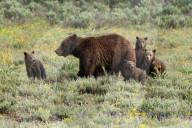 FEATURE -  Eine Grizzlybärin spaziert im Grand Tetons National Park mit ihren Jungen