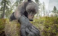 FEATURE - Braunbären aus nächster Nähe in freier Wildbahn fotografiert
