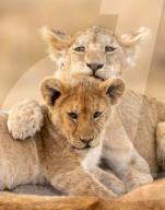 FEATURE - Löwenjungen kuscheln mit ihren Geschwistern