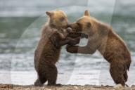 FEATURE - Zwei Bären-Geschwister spielen und kämpfen am Ufer des Kurilensees, Russland