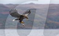 FEATURE -  Adler schwebt vor Bergkulisse in Schottland durch die Lüfte