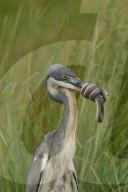 FEATURE - Eine braune Wasserschlange wickelt sich um den Schnabel eines Reihers