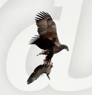 FEATURE - Ente gefangen: Ein Seeadler trägt seine Beute davon