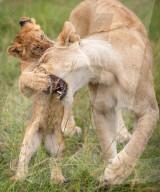FEATURE - Löwenjunges ärgert seine Mutter