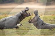 FEATURE - Ein Nilpferd demonstriert die Größe und Kraft seines Kiefers