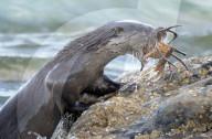 FEATURE - Ein Otter schwimmt mit zu grossen Krebs im Maul ans Ufer