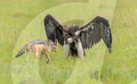 FEATURE - Geier spreizt Flügel im Zweikampf mit Schakal
