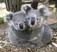 FEATURE - Koalas kuscheln sich aneinander