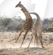 FEATURE - Diese beiden Giraffen sahen aus, als würden sie tanzen