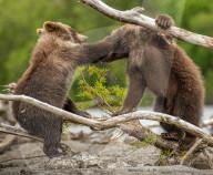 FEATURE - Bären-Brüder kämpfen spielerisch