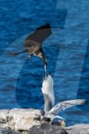FEATURE -  Schwarzer Fregattvogel greift eine Schwalbenschwanzmöwe im Flug an