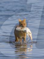 FEATURE - Schakal fängt einen Fisch im Wasser