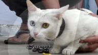 FEATURE - Bowie lässt grüssen: Katze Khao Manse hat zwei unterschiedliche Augenfarben