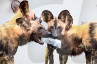 FEATURE -  Afrikanische Wildhunde nutzen eine leere Plastikflasche zur Unterhaltung