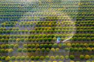 FEATURE - Chrysanthemen im Blumen-Dorf Sa Dec in Vietnam werden mit Wasser besprüht