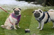 FEATURE - Mops und Mops: Hundehochzeit zum Valentinstag in Leeds