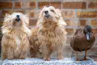 FEATURE - Trick Duck: Hausente Echo hat von ihrer Besitzerin Hundetricks gelernt