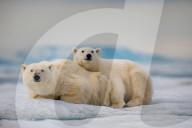 FEATURE - Ein Eisbär-Jungtier kuschelt sich an seine Mutter