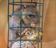 FEATURE -  Ratte steckt im Vogelfutterhäuschen fest