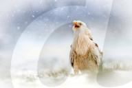 FEATURE - Hungrig im Winter: Ein Rotmilan an der Futterstelle der Falknerei Rhayader in  Wales