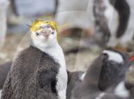 FEATURE - Pinguin mit der ungewöhnlichen Frisur sticht aus der Masse heraus