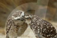 """FEATURE - Männliche und weibliche Kanincheneule """"küssen"""" sich"""