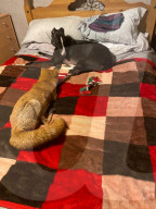 FEATURE - Wildlife Experte Geoff Grewcock zieht verunglückten Fuchs gross