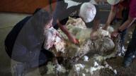 FEATURE - Jahrelang ungeschoren davongekommen: Wild lebendes Schaf wird von 35 Kilo Wolle befreit
