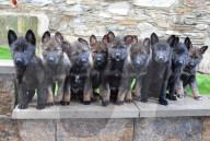 FEATURE - Halten ihre Besitzer auf Trab: Die neun Schäferhund-Welpen von Saskia und Ian Kelly auf der Isle of Man