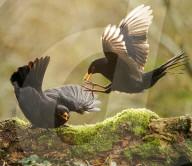 FEATURE -  Real Angry Birds: Tierfotograf Andrew Fusek Peters hat im Lockdown die Vögel in seinem Garten beobachtet
