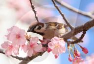 FEATURE - Einwohner Tokios erfeuen sich an den früh blühenden Kirschblüten