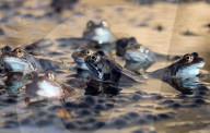 FEATURE - Der Frühling kommt: Hunderte von Fröschen sitzen im Froschlaich