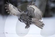 FEATURE -  Routiniert: Ein Bartkauz fängt eine Maus auf einer schneebedeckten Lichtung