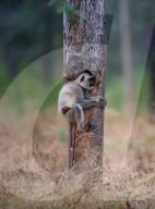 FEATURE - Das passt: Ein Affe verkriecht sich in einen ausgehöhlten Baumstamm im indischen Pench National Park
