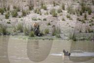 FEATURE - Ein grosser bengalischer Tiger pirscht sich an sein Geschwisterchen an, bevor er sich auf es stürzt