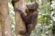 FEATURE - In der Forest School in Indonesien lernt ein junger Orang Utan wieder das Klettern