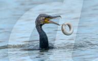 FEATURE - Ein Aal rollt sich in der Luft zusammen, um nicht von einem Kormoran verschluckt zu werden