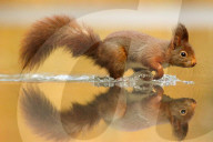 FEATURE - Eichhörnchen spiegeln sich in der Oberfläche eines Tümpels